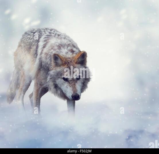 Grauer Wolf auf dem Schnee wandern Stockbild