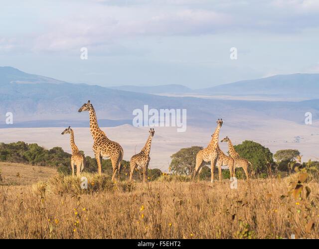 Herde Giraffen auf dem Rand des Ngorongoro Crater in Tansania, Afrika, bei Sonnenuntergang. Stockbild
