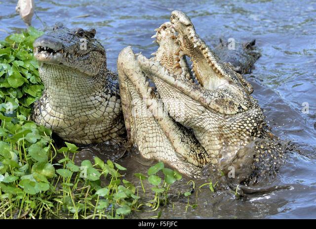 Krokodil anzugreifen. Kubanische Krokodil (Crocodylus Rhombifer). Das kubanische Krokodil springt aus dem Wasser. Stockbild