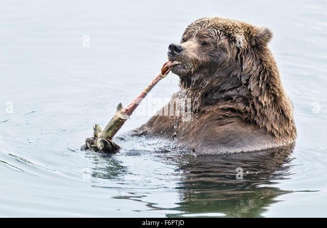 Eine Reife weibliche Küsten Braunbär, Katmai Nationalpark Mitarbeitern als 'Vier Ton' bekannt - Stock-Bilder