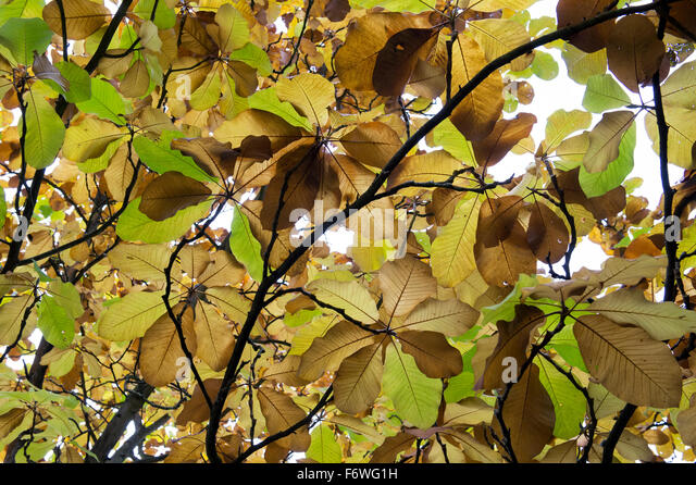 magnolia leaves stockfotos magnolia leaves bilder alamy. Black Bedroom Furniture Sets. Home Design Ideas
