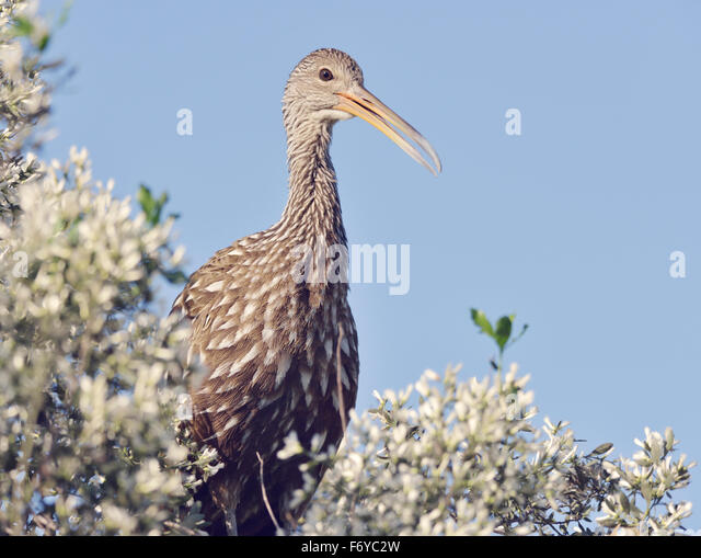 Limpkin Vogel Sitzstangen gegen blauen Himmel Stockbild