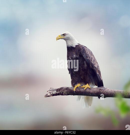 Weißkopfseeadler auf einem Ast Stockbild