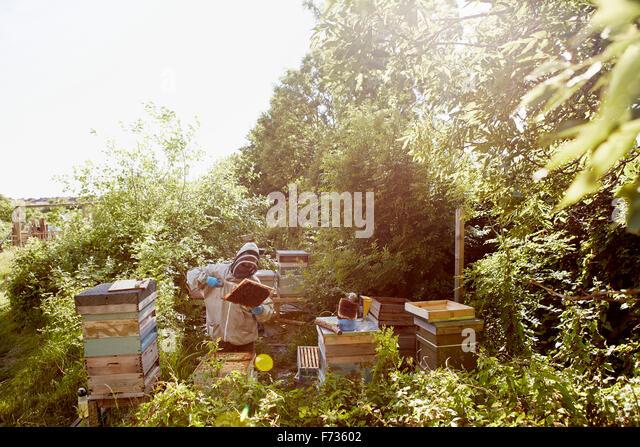 Ein Imker in einem Schutzanzug und Gesicht abdeckt, die Frames in seine Bienenstöcke inspizieren. Stockbild