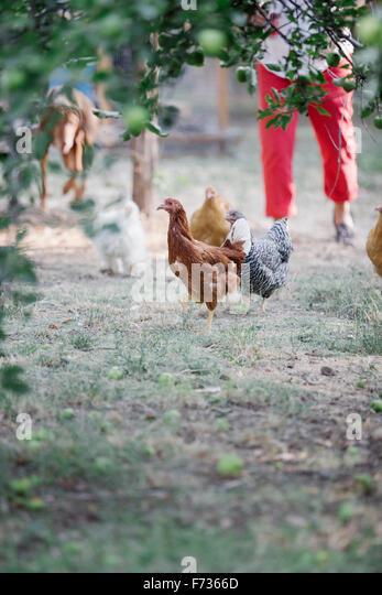 Hühner auf einer Wiese unter einem Baum, eine Frau und Hund im Hintergrund stehen. Stockbild