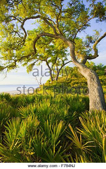 """Saw Palmetto"" und [Sand Phaseneiche] ""St. Katharinen Insel"" Georgia. Stockbild"