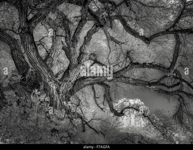 Alten Pappel Baum und Felsen rund um Fruita, Capitol Reef National Park, Utah Stockbild