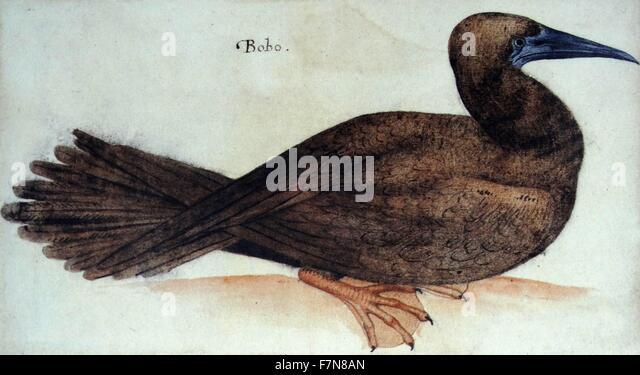 """""""Bobo"""", Vogel; Aquarell von John White, ca. 1585 Stockbild"""
