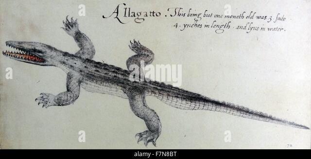 Amerikanischer Alligator, Aquarell von John White, ca. 1585 Stockbild