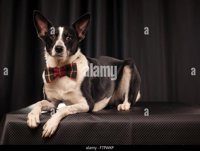 Studioportrait von schwarzen und weißen Hund Stockbild