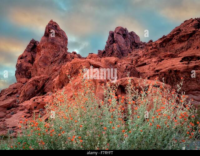 Globe Mallow und Felsformation im Valley of Fire State Park, Nevada Stockbild