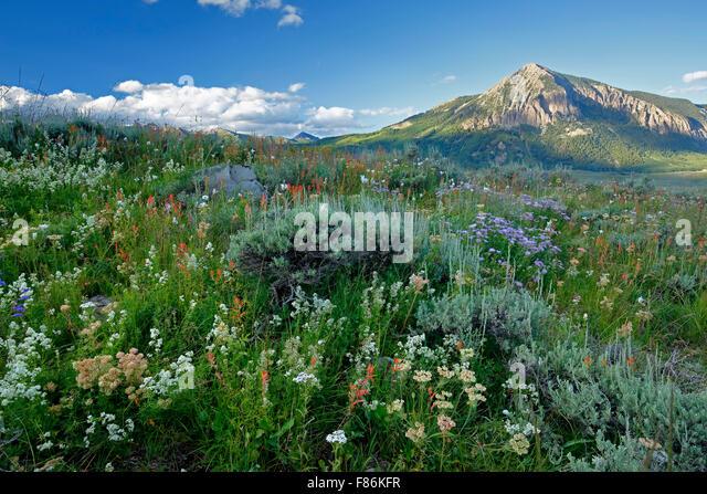 Wildblumen und Mount Crested Butte (12.162 ft.), Crested Butte, Colorado USA Stockbild