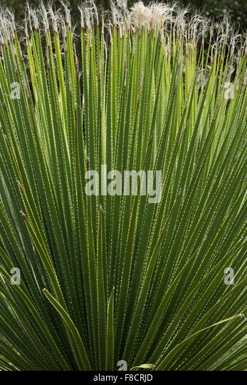 Junge Rosette aus Pferdeschwanz Palm (keine echte Palme), Beaucarnea Stricta, Agaveaceae, Agave Familie Stockbild