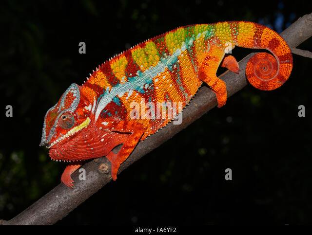Pantherchamäleon (Furcifer Pardalis), lokale Form Ambilobe, West-Madagaskar Stockbild