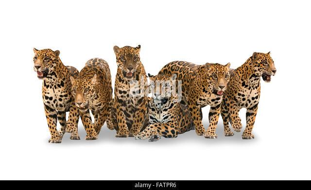 Gruppe von Jaguar mit Schatten auf weißem Hintergrund isoliert Stockbild
