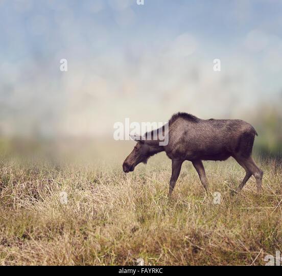 Weibliche Elche zu Fuß auf dem Feld Stockbild