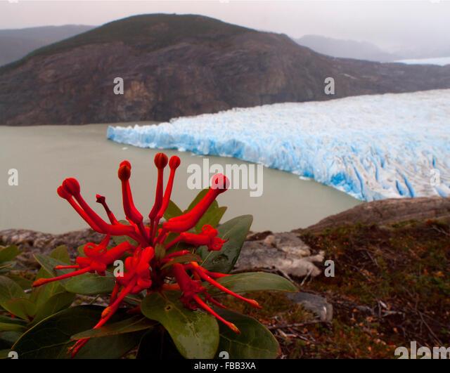 Chilenische Feuer Bush (Embothrium Coccineum) und Grey Gletscher, Torres del Paine, Patagonien Stockbild