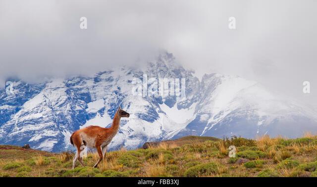 Juvenile Guanako, Torres Del Paine Nationalpark, Patagonien Stockbild