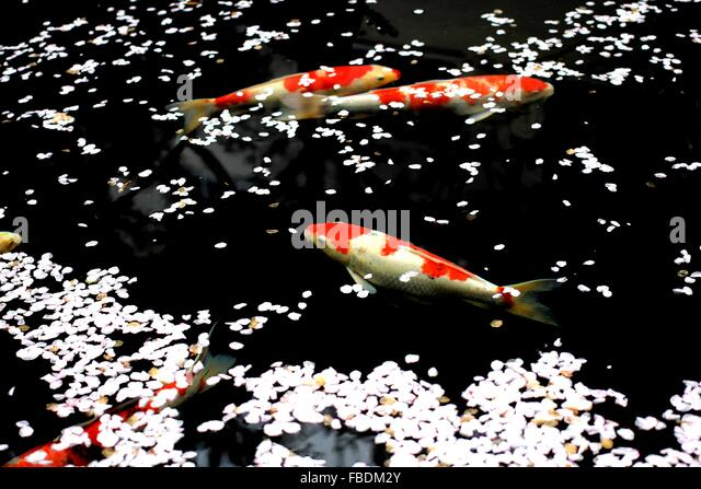 Blüte Blüten und Fisch von der Wasseroberfläche Stockbild