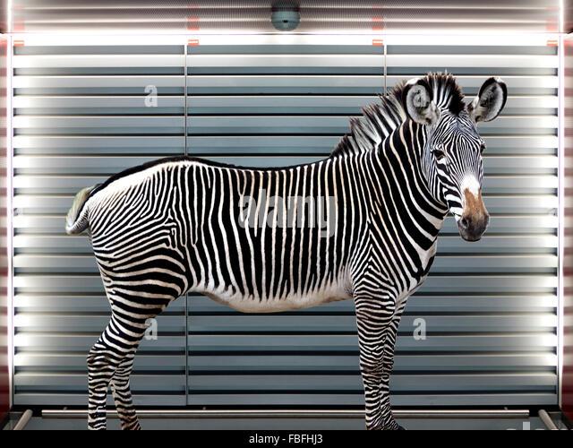 Digitalen zusammengesetztes Bild von Zebra gegen Fenster Jalousien Stockbild