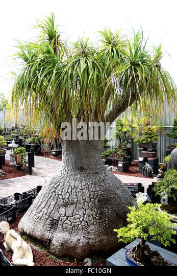 Beaucarnea Recurvata oder bekannt als Pferdeschwanz Palm Stockbild