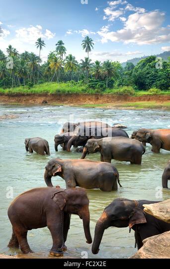 Herde von Elefanten im Fluss des Dschungels Stockbild