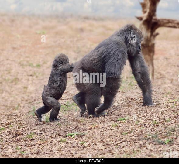 Gorilla-Weibchen mit ihrem Baby zu Fuß Stockbild