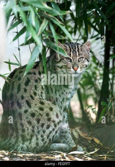 Fischen-Katze, Prionailurus Viverrinus, Indien Stockbild