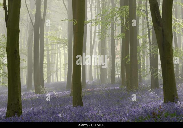 Wald voller Glockenblumen an einem nebligen Frühlingsmorgen in der Nähe von Micheldever in Hampshire. - Stock-Bilder