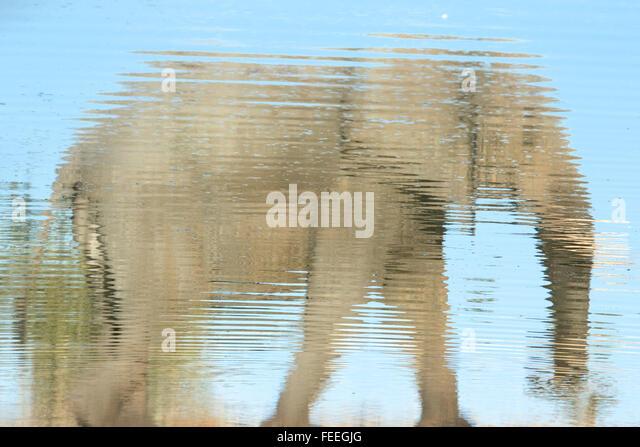 Reflexion eines Elefanten Stockbild
