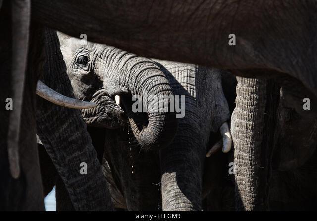 Details eines afrikanischen Elefanten Stockbild
