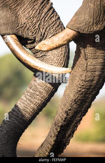 Details eines afrikanischen Elefanten - Stock-Bilder