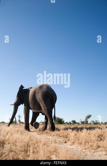 Ein Spaziergang durch das Buschland Elefant Stockbild