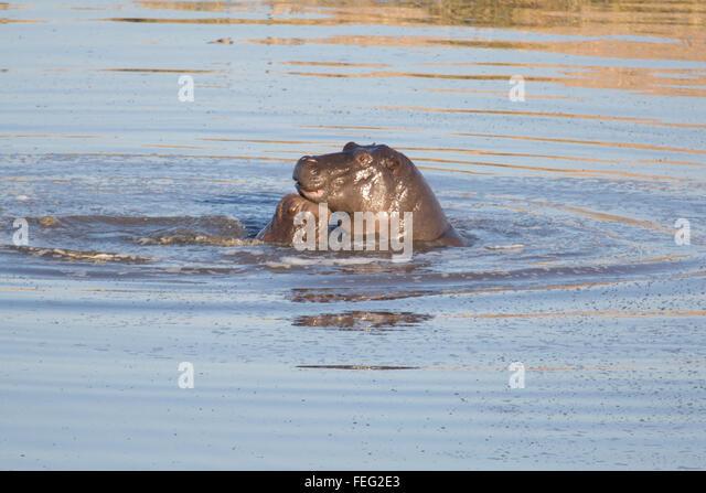 Nilpferd in einem Teich Stockbild