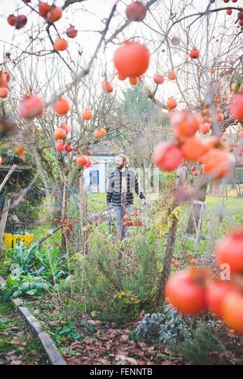 Blick durch Persimone Baum der Mitte erwachsener Mann im Garten, auf der Suche nach Stockbild