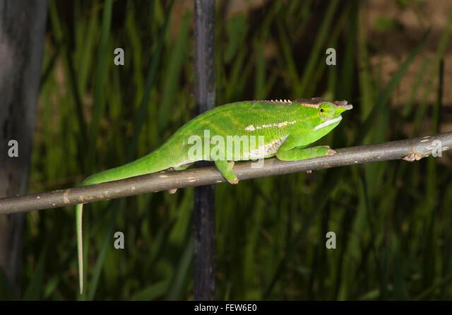 Vordach Chameleon (Furcifer willsii), Madagsscar Stockbild
