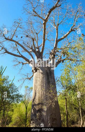 Affenbrotbäume Za Baobab Baum, Berenty, Fort Dauphin, Provinz Toliara, Madagaskar Stockbild