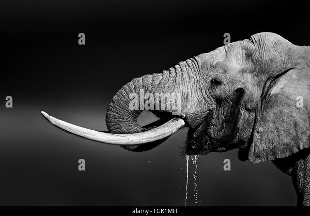 Elefantenbullen mit großen Stoßzähnen Trinkwasser. Close-up Portrait mit Seitenansicht im Addo National Stockbild