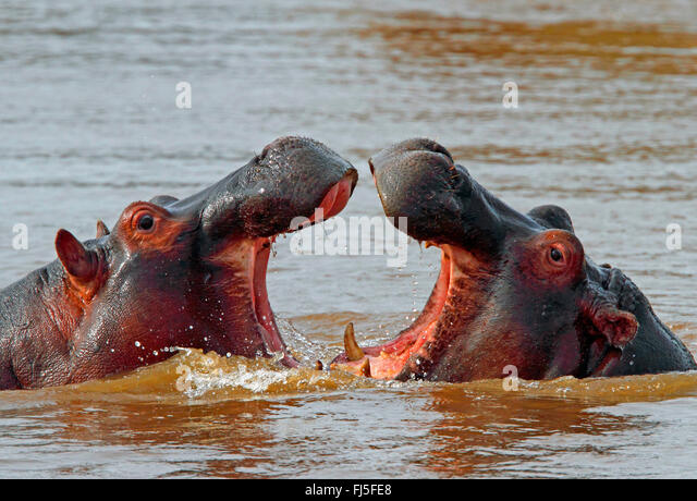 Nilpferd, Nilpferd, gemeinsame Flusspferd (Hippopotamus Amphibius), Bekämpfung der Flusspferde im Wasser, Kenia, Stockbild