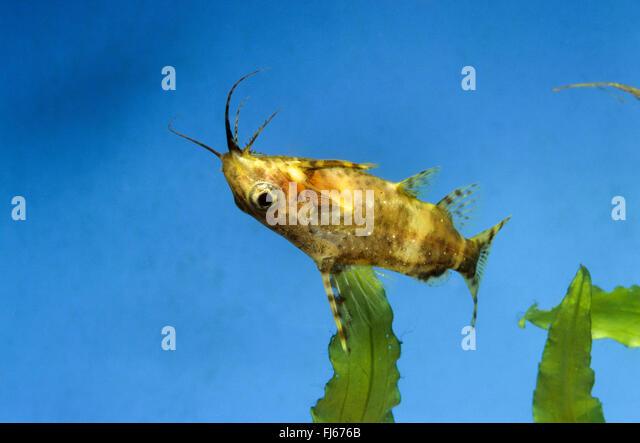 Blackbellied Upside-Down-Wels (Synodontis Nigriventris), Schwimmen Stockbild