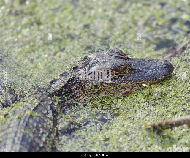Junge amerikanische Alligator in Florida Wetlands Stockbild