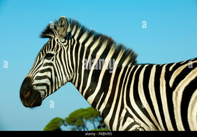 Fernsehreihe, Istrien, Insel Veli Brijuni Im Nationalpark Brijuni-Inseln Vor Pula. Zebra Im Tiergehege. Stockbild