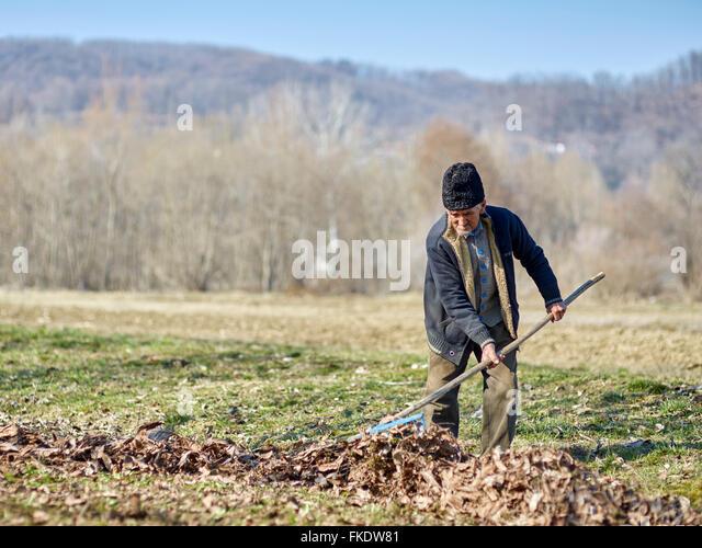 Senior Bauer Reinigung Tote Blätter aus einer Walnuss-Obstgarten - Stock-Bilder