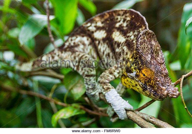 Madagaskar, Osten, ein Pantherchamäleon (Furcifer Pardalis) Stockbild