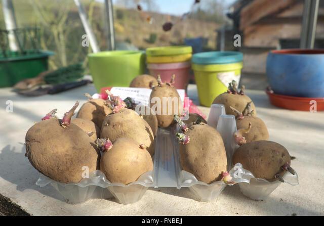 Premiere von Saatgut Kartoffeln Kartoffeln in einer alten Ei-Box in einem Gewächshaus Anfang März bereit Stockbild