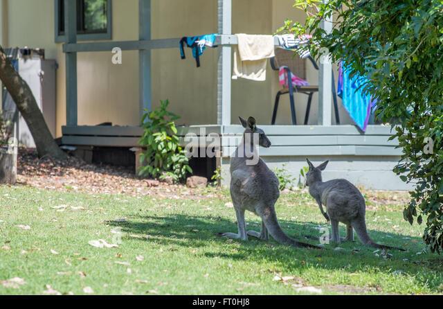Neugierig Kängurus besuchen einen Garten in Pebbly Beach, New South Wales, Australien Stockbild