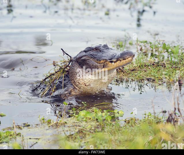 Wilde Florida Alligator springt aus dem Wasser Stockbild