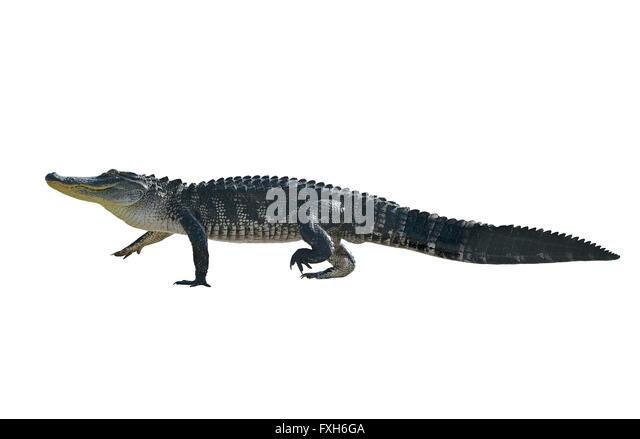 Florida Alligator, Isolated on White Background Stockbild