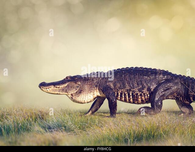 Großen Florida Alligator Wandern in Feuchtgebieten Stockbild