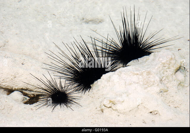 Seeigel Stockbild